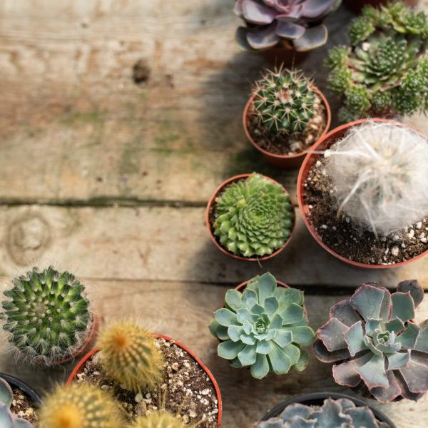 cacti and succulents - plants in interior design