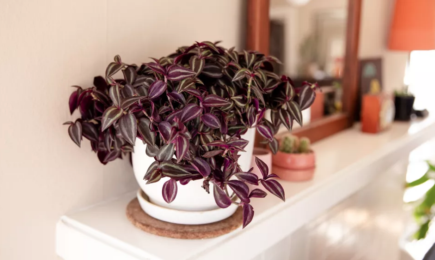 purple wandering dude plant on fireplace