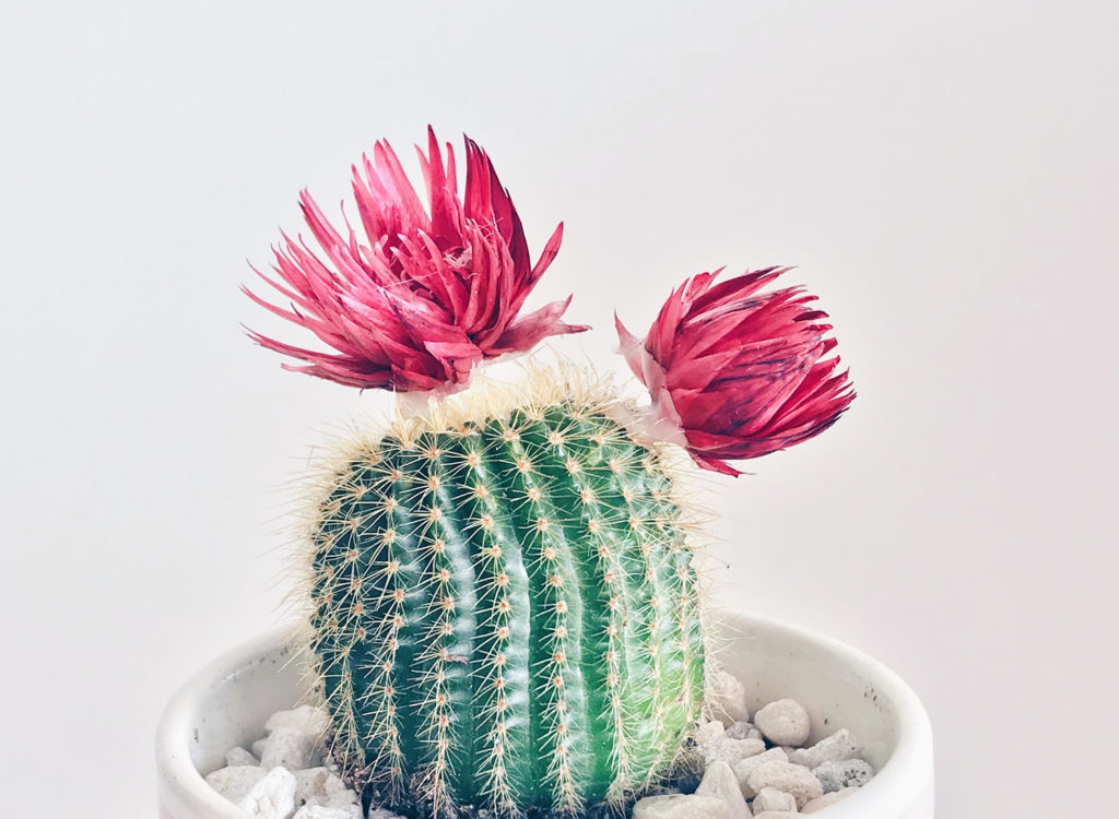 flowering cacti with pink blooms