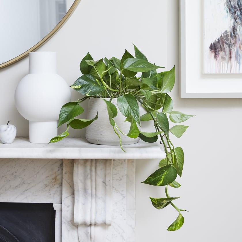 Devil's ivy on fireplace